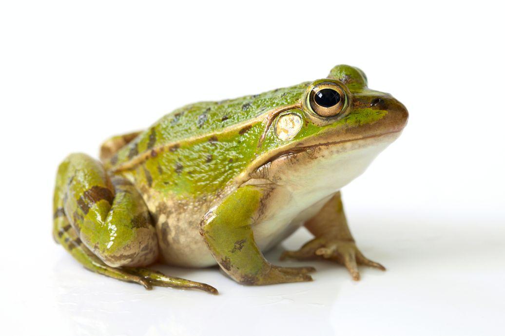 小蝌蚪要多久才能变成青蛙图片